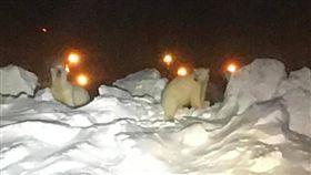 美國,阿拉斯加,北極熊,機場,跑道,保育動物 圖/翻攝自YouTube