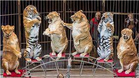 馬戲團,獅子,肥胖,過胖,俄羅斯,Vladivostok Circus 圖/翻攝自西伯利亞時報