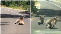 阿得雷德山,Adelaide Hills,澳洲,無尾熊,打架,相撲(圖/翻攝自Marguerite Smith臉書)