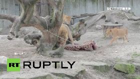 寵物餵獅子1700