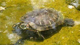 1萬多名小學生以為烏龜是十二生肖之一。(圖/翻攝維基百科)