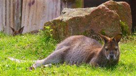 kangaroo,袋鼠(pixabay)