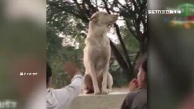 泰神犬握手1800