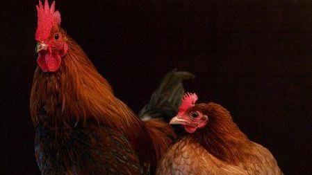 禽流感/公雞和母雞/取自wiki