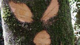 霞喀羅,新竹,古道,步道,賞楓,樹木,樹皮,破壞,刀割,林管處,人為 (圖/翻攝自爆料公社)