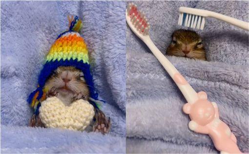 松鼠,牙刷,梳頭,按摩,享受,寵物 圖/翻攝自ig