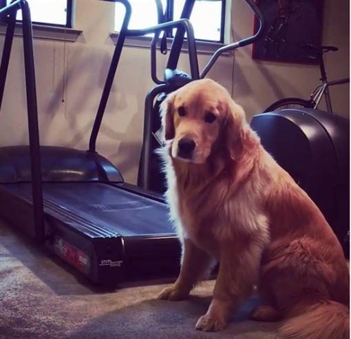 黃金獵犬跑跑步機,幾秒後開始耍賴。(圖/翻攝自meetmaya Instagram)