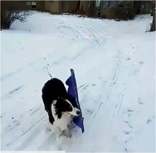 滑雪,狗,毛孩,玩雪,雪橇 圖/翻攝自ig