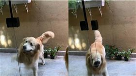 黃金獵犬,開門,玻璃門,狗,毛孩 圖/翻攝自IG