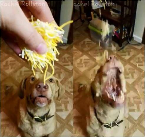 比特犬開心吃大餐 吃相卻把網友嚇到「做惡夢」
