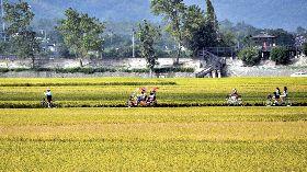 稻米市價不好可賣給政府  稻農多一層