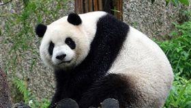 寒流報到愈晚愈冷  大貓熊超開心寒流報到,8日愈晚愈冷,9至12日最低溫下探攝氏7度,動物園發言人曹先紹表示,大貓熊「團團」、「圓圓」、「圓仔」(圖)一家3口自然棲地的年平均氣溫約6至17度,只要夏季氣溫高過26度,一家3口都被安排在室內避暑。(台北市動物園提供)中央社記者梁珮綺傳真  107年1月8日