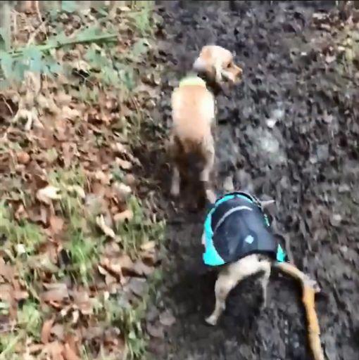 法鬥找到樹枝好嗨 奔跑戳臘腸屁屁!(圖/翻攝自simon.thefrenchbulldog IG)