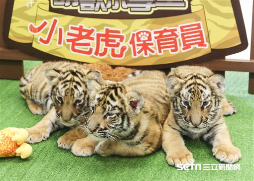 六福村孟加拉虎,小老虎,虎寶寶。(圖/六福村提供)