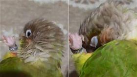 抓癢,鸚鵡,羽毛,鳥,不求人 圖/翻攝自推特