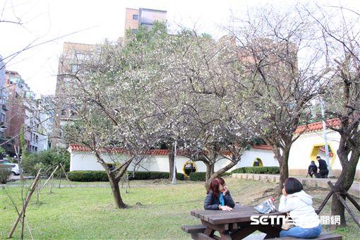 梅花,北市志成公園。(圖/北市公園處提供,陳正祥攝影)