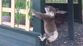 澳洲無尾熊,無尾熊被釘在柱子上慘死(圖/翻攝自Koala Rescue Queensland Inc臉書)