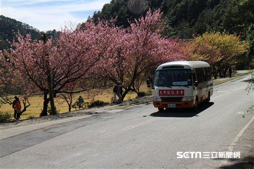 武陵農場,櫻花,賞櫻。