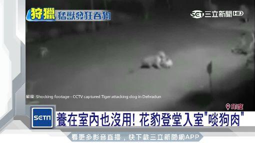 驚!印寵物犬離奇失蹤 竟成老虎「盤中飧」|三立新聞台