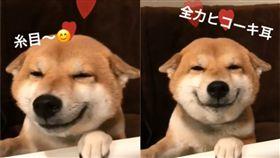柴犬 圖/翻攝自hanawego Instagram