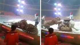 大陸河北滄州市大陽馬戲團在排練「獅子與老虎騎馬」節目時,獅子突然攻擊白馬,在後方的老虎也跟著撲上,在旁的工作人員還拿起鞭子往白馬身上打,白馬當場倒地,在場地內打轉。對此,馬戲團工作人員解釋,因為獅子、老虎與馬的食性不同,出現這情況很正常。(圖/翻攝自秒拍)