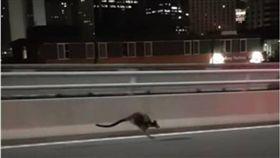 澳洲,袋鼠,雪梨,港灣大橋,高速公路 圖/翻攝自YouTube