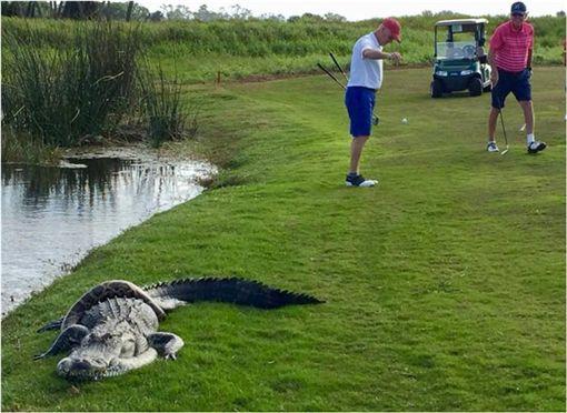 美國,高爾夫球,蟒蛇,鱷魚,Richard Nadler 圖/翻攝自臉書