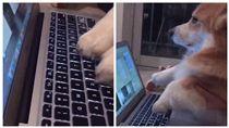 柯基,寵物,毛小孩,打字,敲鍵盤,報告 圖/翻攝自odinthecorgi Instagram