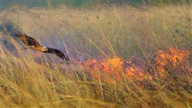 澳洲一名鳥類專家研究發現,澳洲北部鷹隼類(黑鳶(Milvus migrans)與褐隼(Falco berigora))會叼起火的樹枝或餘焰未盡的木塊,丟到目標處「縱火」補殺獵物。(圖/翻攝自推特)