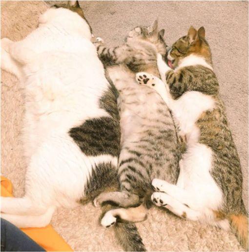 貓,,喵皇,睡覺,傻眼,虎斑貓 圖/翻攝自推特