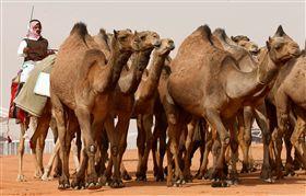 駱駝選美_路透
