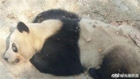 大陸成都熊貓黑眼圈變白(圖/翻攝自頭條新聞微博)