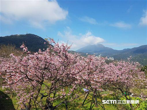 櫻花,賞櫻,平菁街。(圖/北市大地處提供)