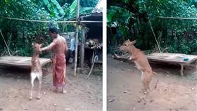 印尼有一隻小牛出生後沒有前肢,只能依靠後腿跌跌撞撞地走路,不料有名男子卻猛力將小牛推倒,導致小牛差點失去控制,倒在地上。不少網友看到後掀起熱議,紛紛痛批男子很自私,「難道沒人幫助這隻小牛嗎?」(圖/翻攝自《The Native Cow》YouTube)