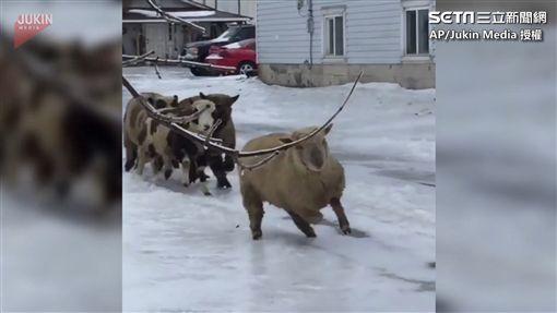 羊駝Lola帶領羊群穿過冰面。