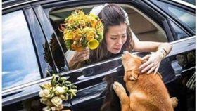 道別,柴犬,新娘,眼淚 ▲圖/翻攝自爆廢公社