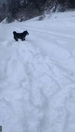 大雪,日本,積雪,柴犬,黑柴,雪球,毛小孩,狗(圖/翻攝自推特)