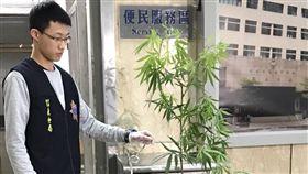 台北一名吳姓男大生帶大麻種子回家種,種到180公分高(圖/翻攝畫面)