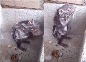 老鼠,洗澡,秘魯,