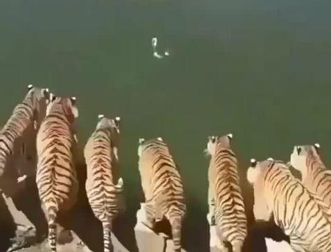寵物,老虎,水鳥,大貓,狩獵,跳水 圖/翻攝自ig