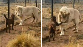 獅子,狗,親密,朋友,哥兒們,毛孩,動物 (圖/翻攝自YouTube)