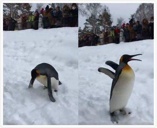 企鵝,滑雪,寵物,日本,動物園,脫序 圖/翻攝自Twitter @tarareba722