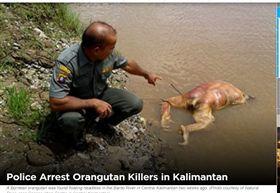 瀕危猩猩遭虐殺!斬首、拔毛、槍擊樣樣來 兇竟辯「自衛」 圖/翻攝自Jakarta Globe