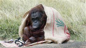 好冷 紅毛猩猩穿麻布袋披風保暖入冬首波寒流發威,全台各地低溫頻傳,高雄市壽山動物園的紅毛猩猩10日也躲入園方準備的麻布袋披風抵擋寒意,惹人憐愛。圖文╱中央社記者董俊志 107年1月10日