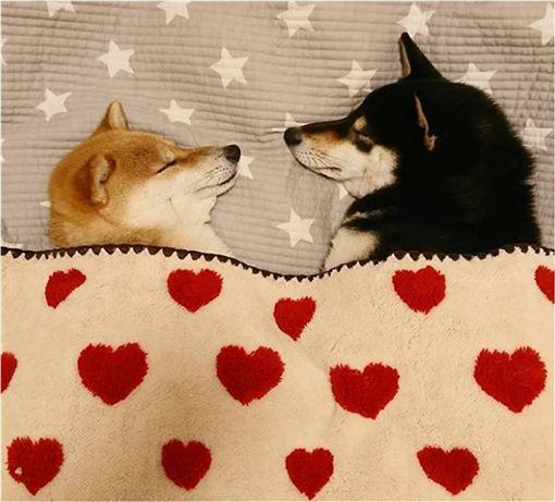 狗,柴犬,睡覺,放閃,汪星人 圖/翻攝ig