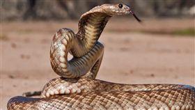 澳洲「西部擬眼鏡蛇」(Western Brown Snake)(圖/翻攝自推特)