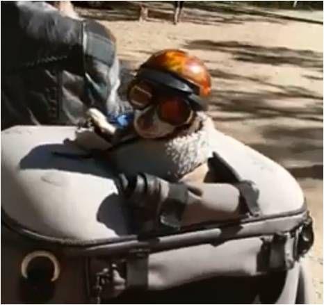 狗,吉娃娃,重機,兜風,澳洲,平安帽,墨鏡,Digga 圖/翻攝臉書