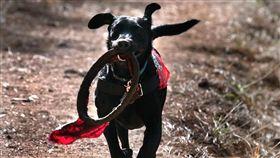 穿梭瓦礫堆的小英雄!搜救犬訓練嚴格 受傷也堅持工作(圖/翻攝自Search and Rescue Dogs of the United States)