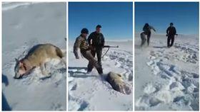 哈薩克,野狼遭獵人開槍攻擊後展開反擊(圖/翻攝自YouTube)