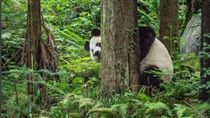 熊貓,四川,國家地理雜誌,熊,害羞,動物,保育類 圖/翻攝自natgeo IG